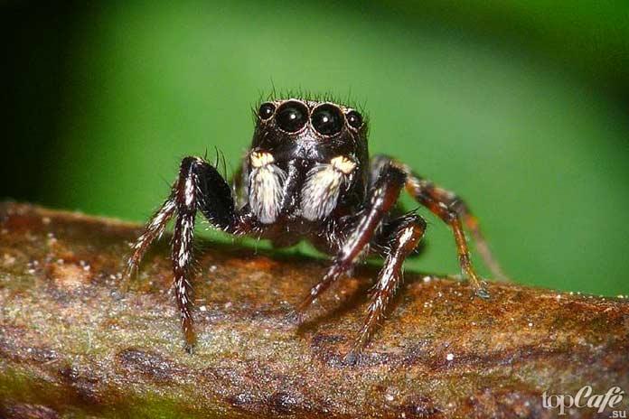 Список маленьких пауков: Гималайский скакун