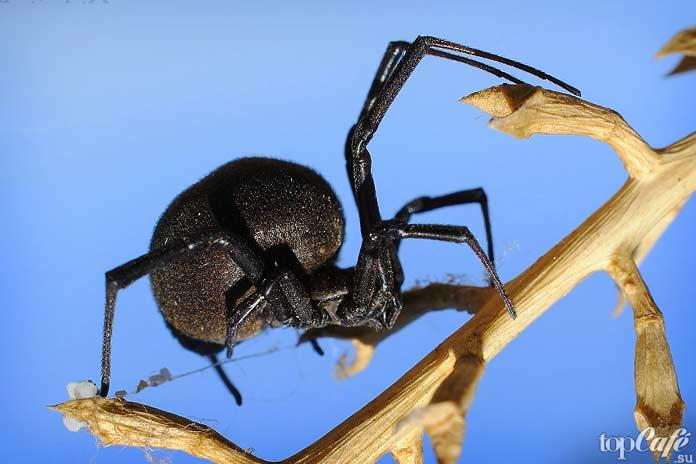 Список маленьких пауков: Каракурт