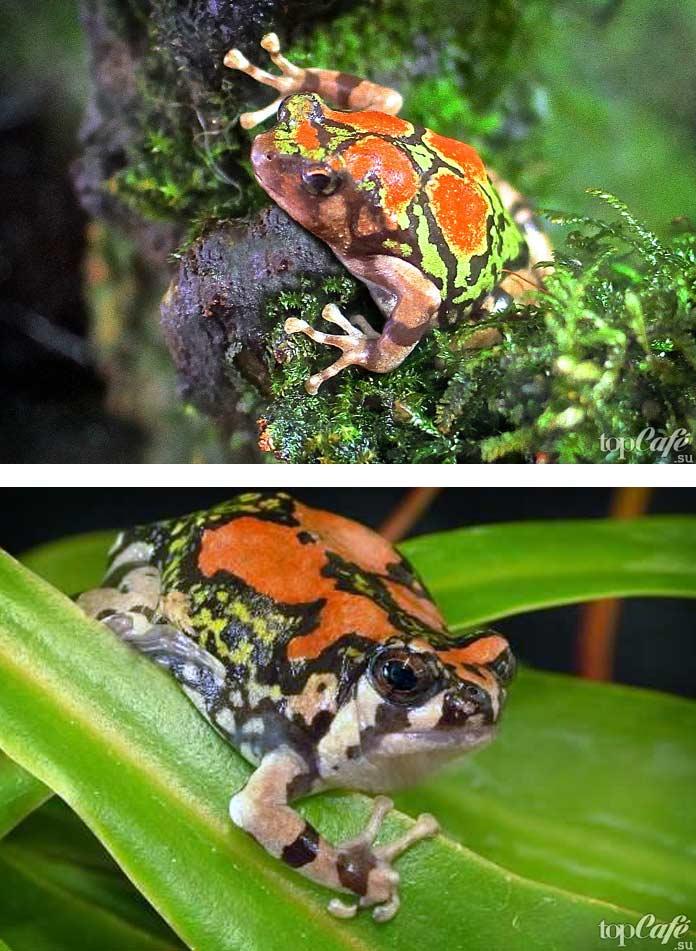 Малагасийская радужная лягушка