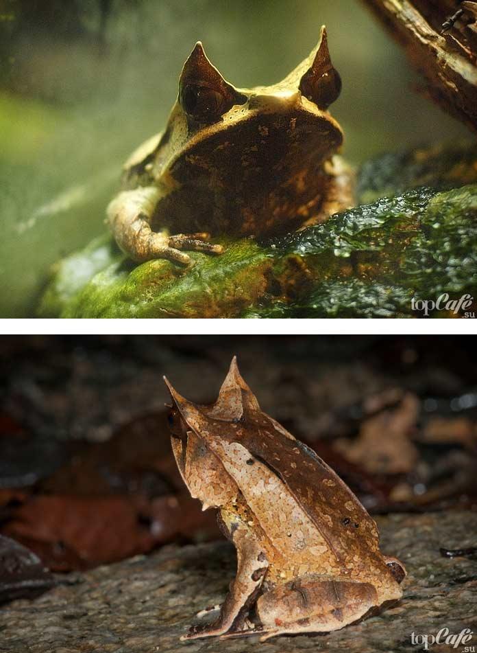 Малайская рогатая лягушка