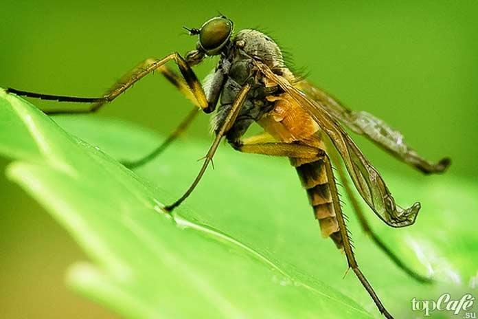 Самые опасные комары: Опасное насекомое