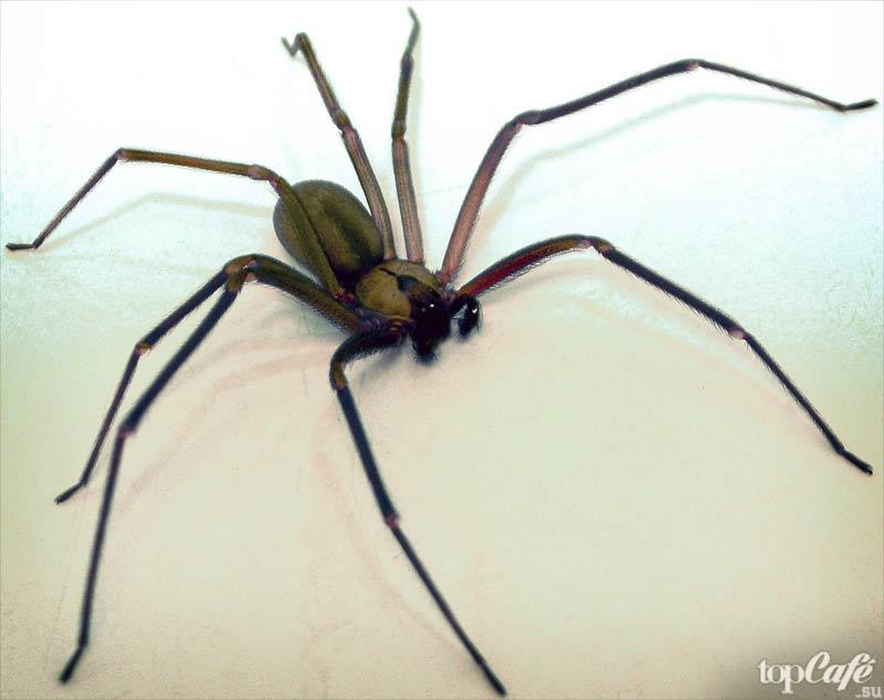 Коричневый паук-отшельник. CC0
