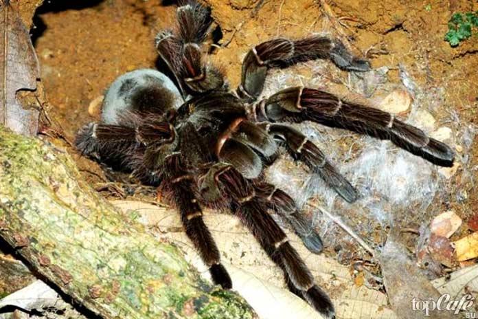 Факты о пауках: Самый большой изубастый
