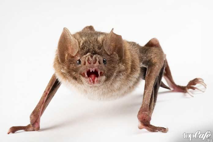 Интересные факты о летучих мышах: Свиноносая летучая мышь
