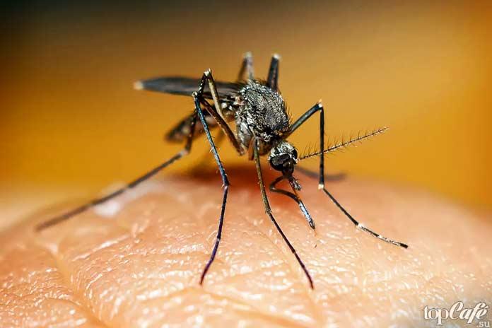 Виды опасных комаров