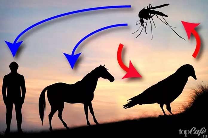 Самые опасные комары: Вирус Западного Нила