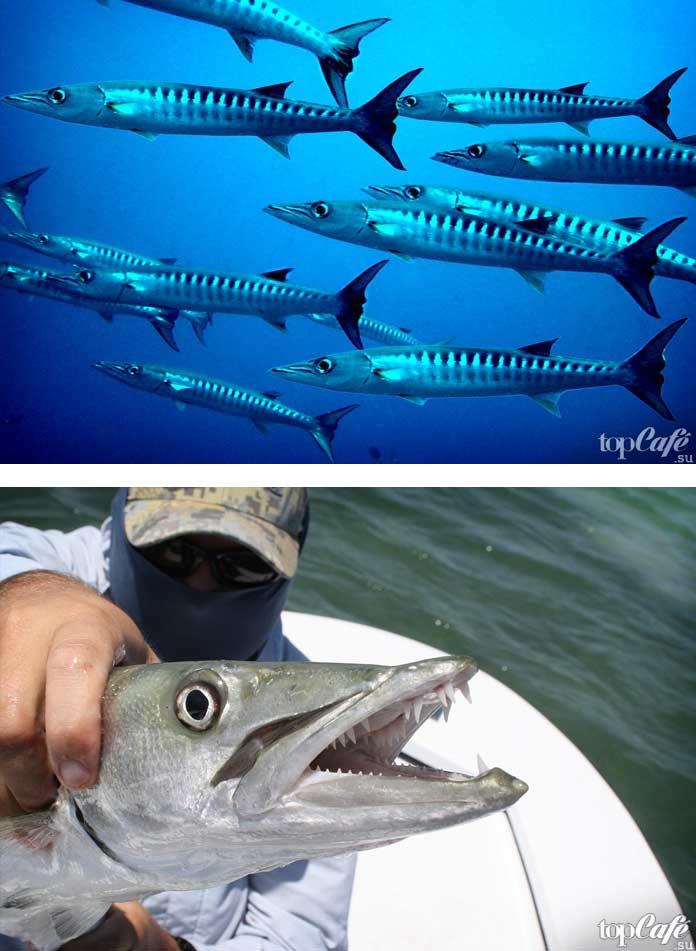 Самые опасные рыбы убийцы: Барракуда