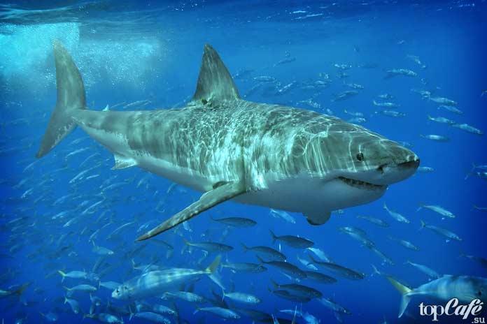 Самые опасные рыбы убийцы: Белая акула