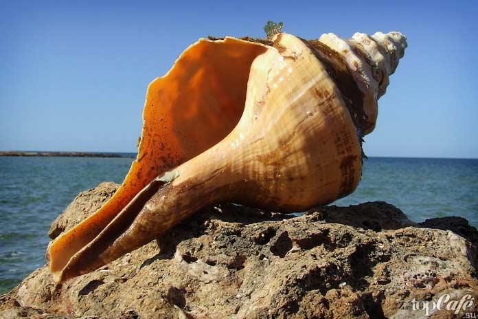Интересные факты об улитках: Раковина гигантского австралийского трубача