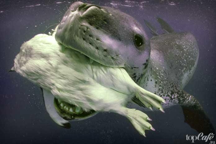 Морские леопарды плотоядные
