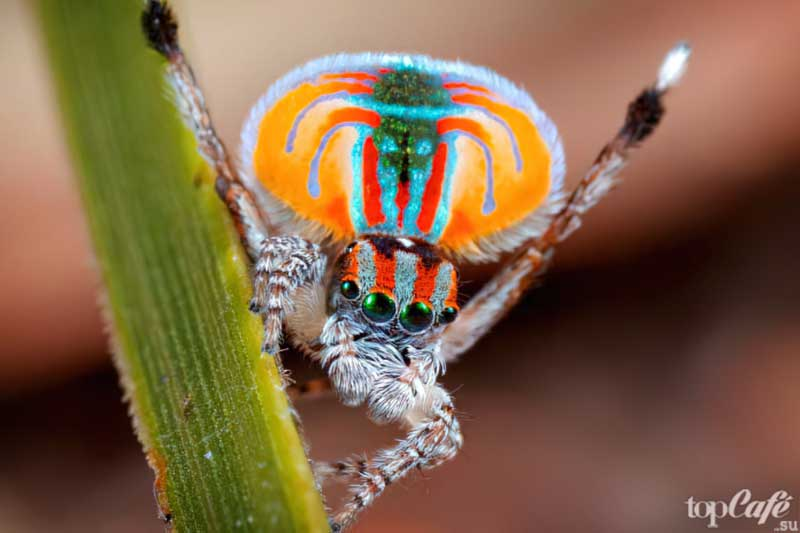 Павлиний паук