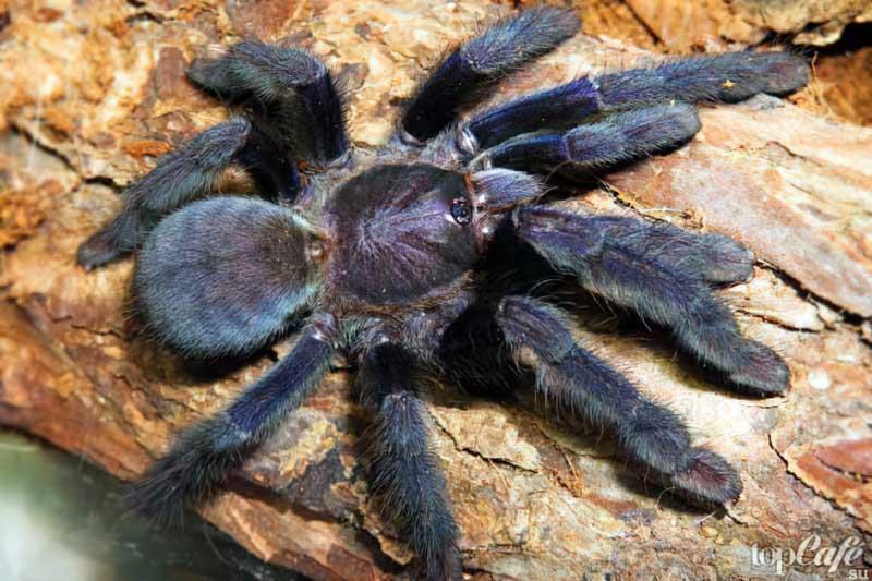 Полосатый паук-птицеед