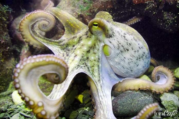 Факты об осьминогах: Чистюли