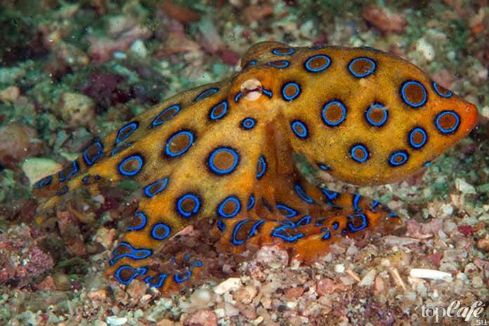 Голубокольчатые осьминоги
