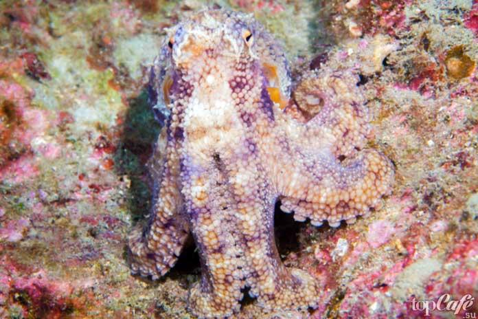 Факты об осьминогах: Мимикрия