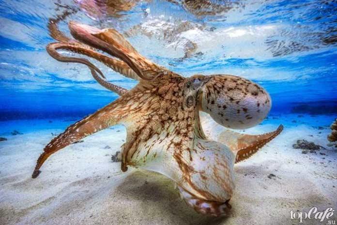 Удивительные факты об осьминогах