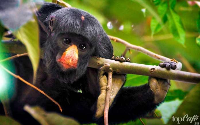 Бородатая обезьяна Саки