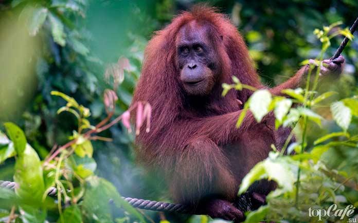 Орангутанг Борнео