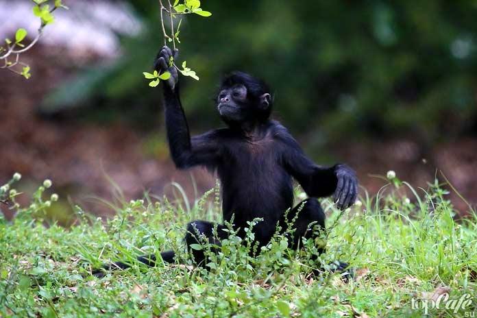 Паукообразная обезьяна Жоффруа