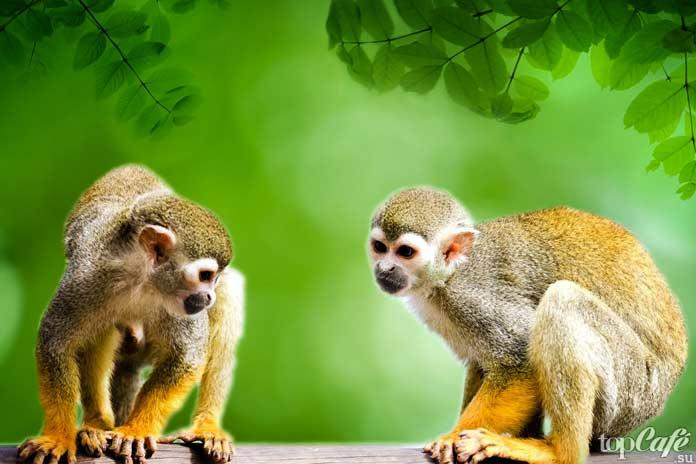 Центральноамериканские беличьи обезьяны