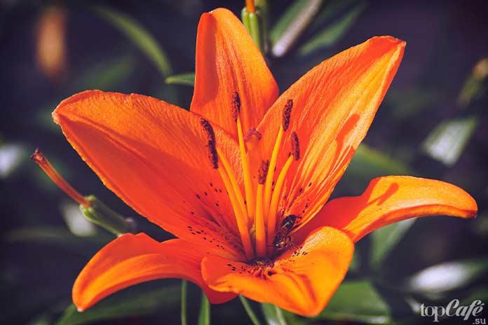 10 цветов, которые надо попробовать на вкус: Дневная лилия
