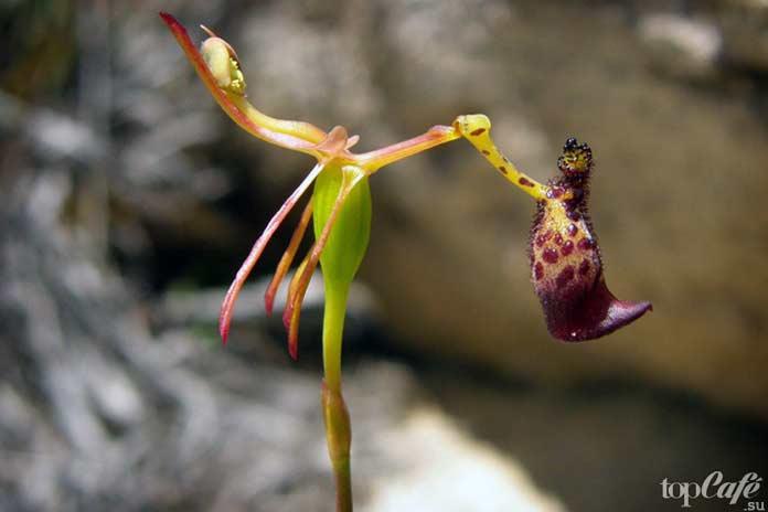 Орхидея Drakaea glyptodon