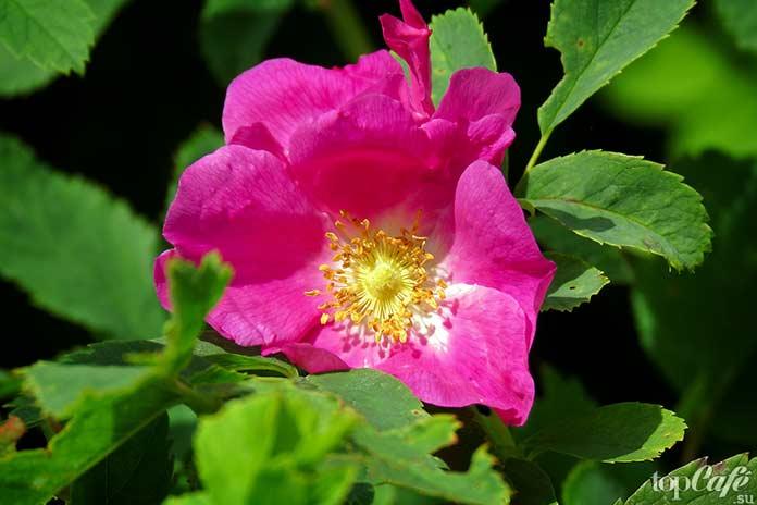 10 цветов, которые можно попробовать на вкус: Шиповник. CC0