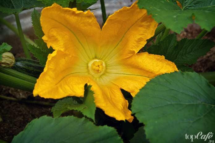 10 цветов, которые вы можете попробовать на вкус: Цветок кабачка