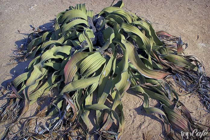 8 очень странных растений: Вельвичия удивительная