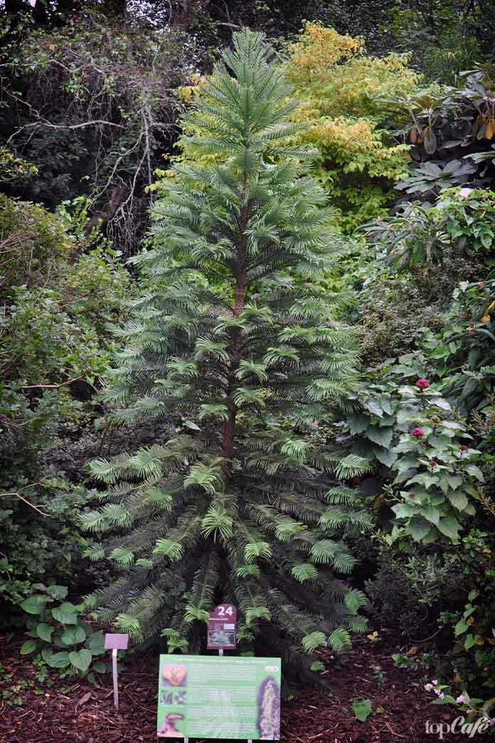 8 очень странных растений: Воллемия