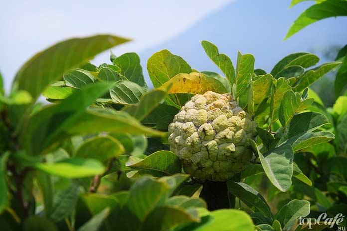 Список самых необычных фруктов: Аннона