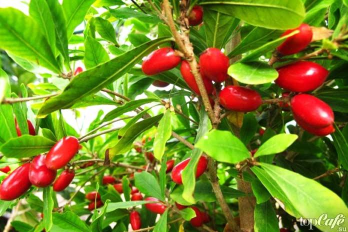 Список самых необычных фруктов: Чудо ягода CC0