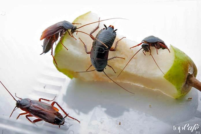 Факты о тараканах: Чёрные тараканы