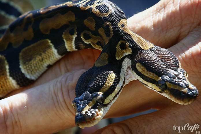 Самые интересные факты о змеях: Двухголовые змеи