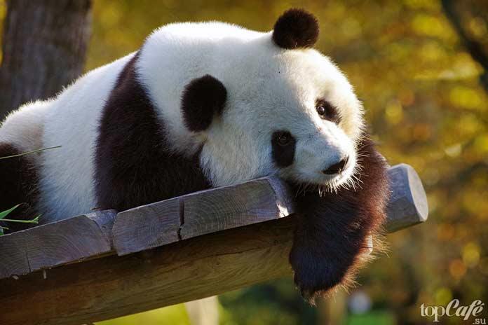Самые коварные мамочки в дикой природе: Гигантская панда. CC0