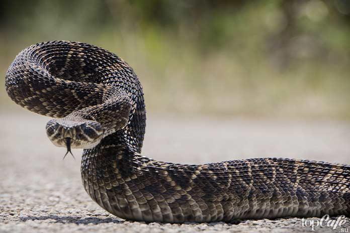 Самые интересные факты о змеях: Гремучая змея. CC0
