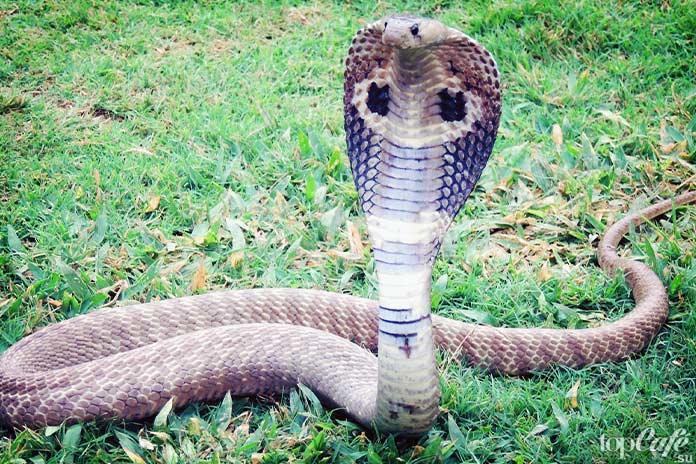 Королевская кобра. CC0