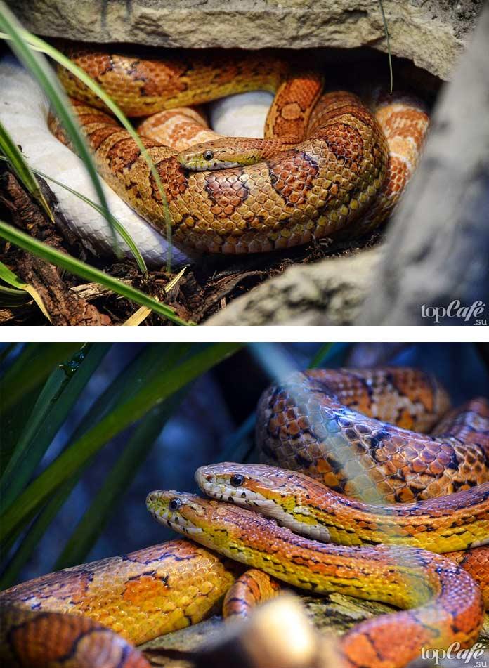 Самые красивые змеи: Маисовый полоз. СС0