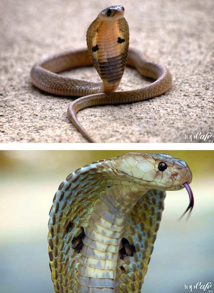 Самые красивые змеи: Очковая кобра. СС0