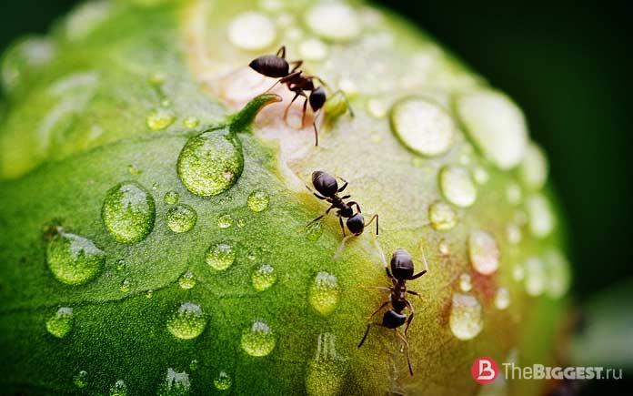 Перчатки из муравьев