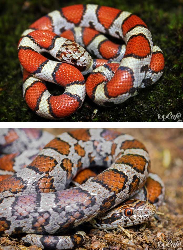 Поперечнополосатая королевская змея. СС0