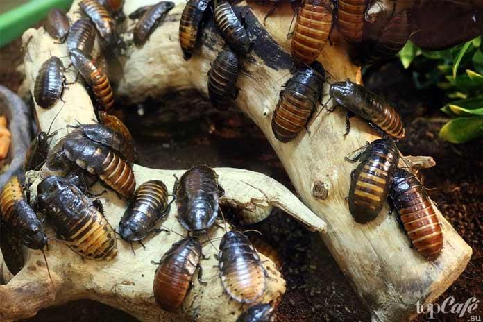 Факты о тараканах: Поведение тараканов. СС0