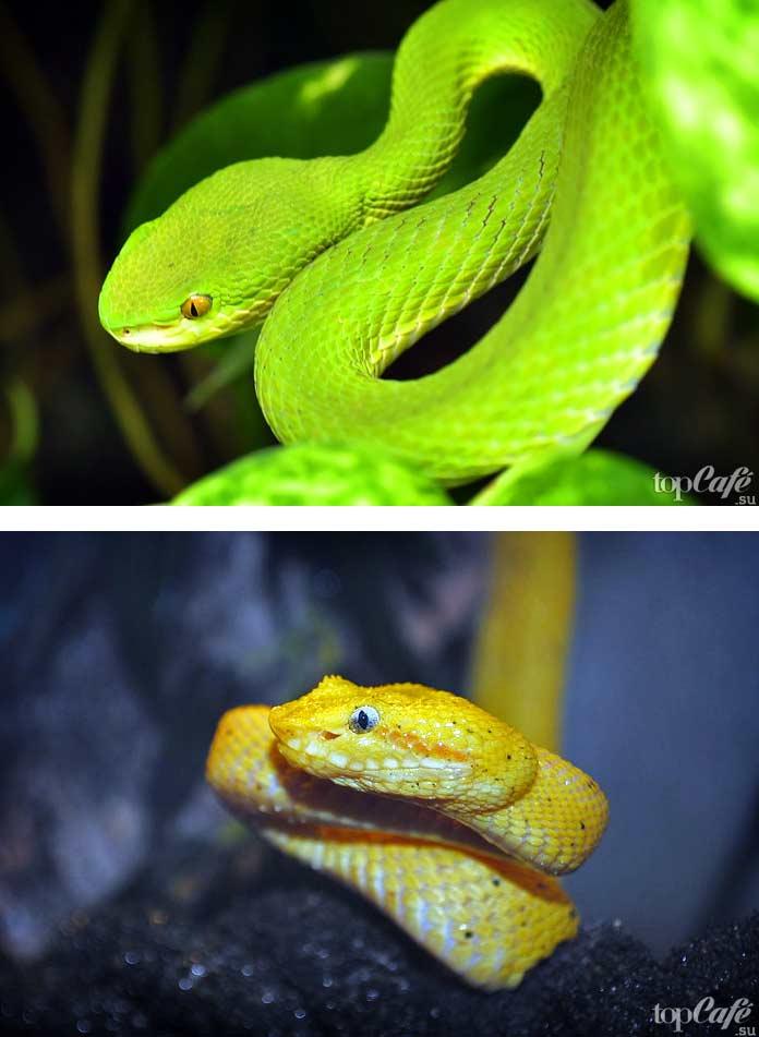 Самые красивые змеи: Шершавая древесная гадюка. СС0