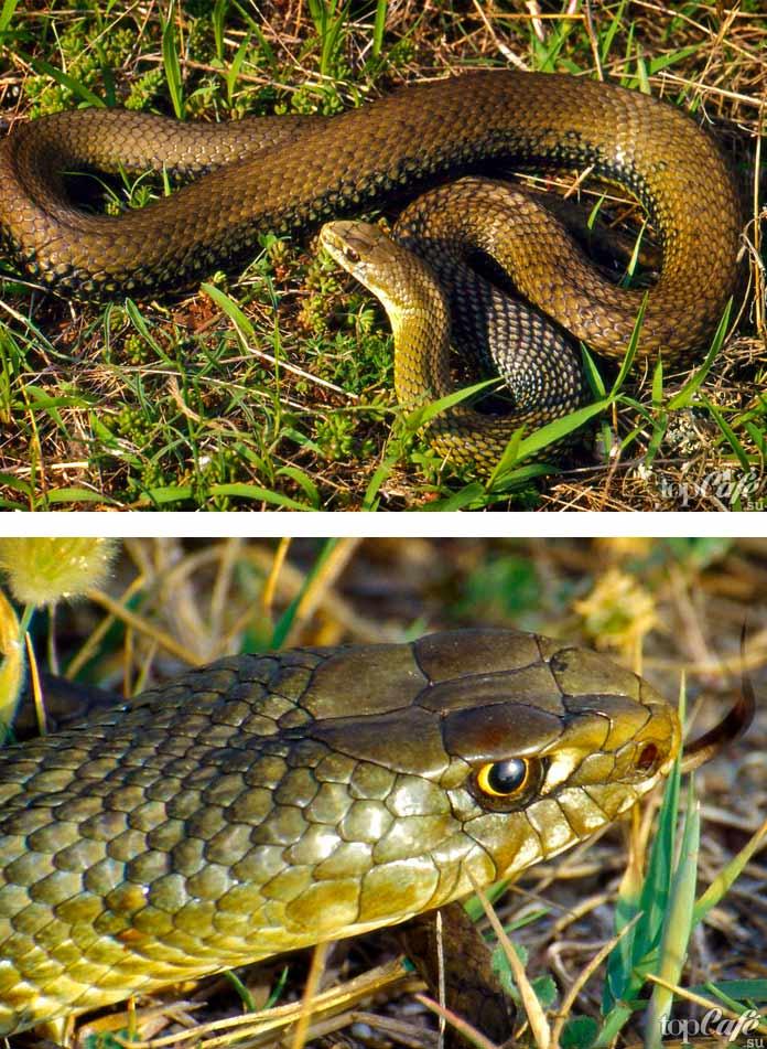 Самые красивые змеи: Ящеричная змея. СС0