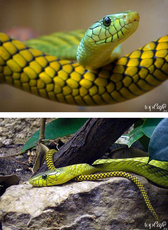 Самые красивые змеи: Зелёная мамба. СС0