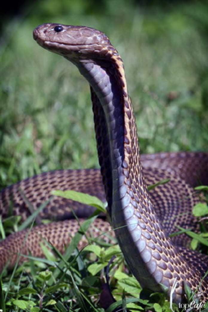 филиппинская кобра. CC0