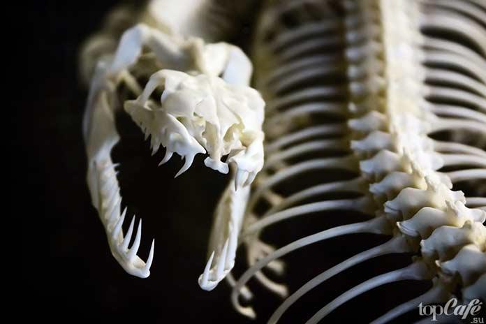 Самые интересные факты о змеях: скелет змеи. CC0