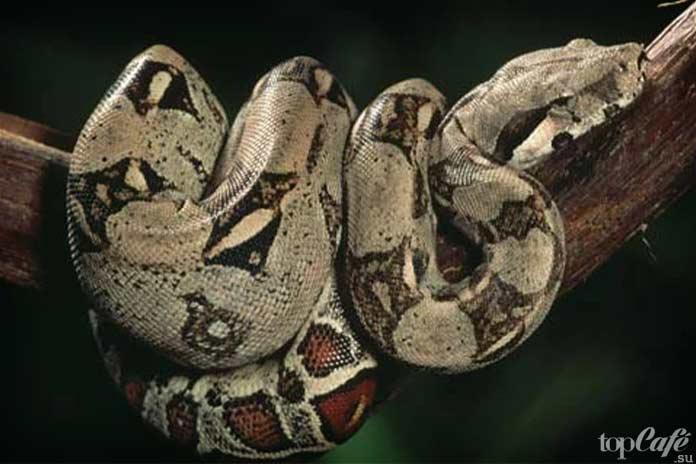 Самые интересные факты о змеях: удав Попай