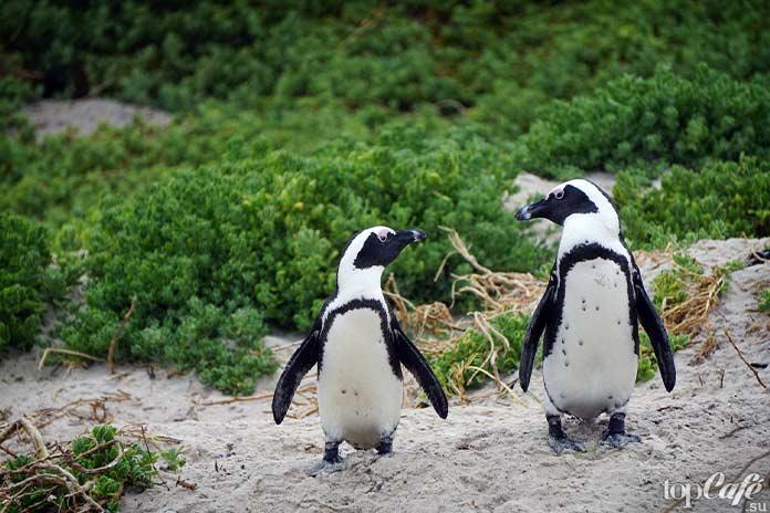 факты о пингвинах: Африканские пингвины. СС0