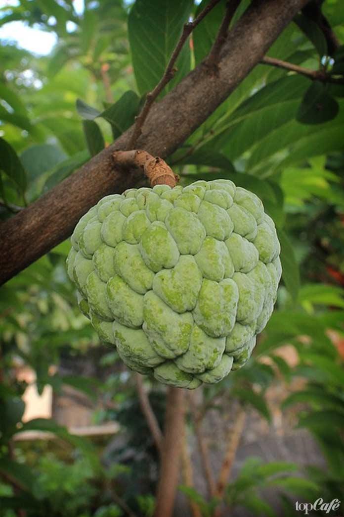 Список самых необычных фруктов: Cherimoya. CC0